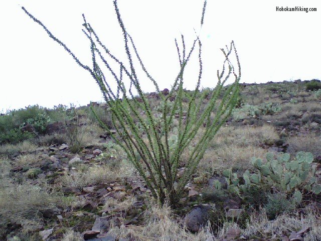 Ocotillo cactus with green leaves