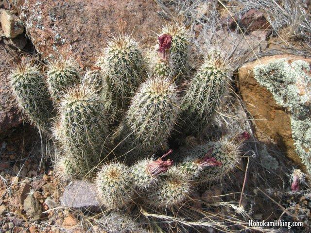 Crimson Hedgehog Cactus