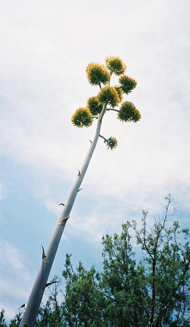 Agave Chrysantha - Golden Agave