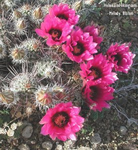 Hedgehog Cactus in full bloom