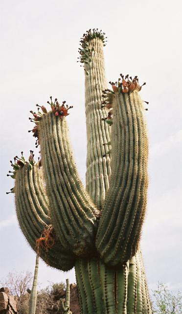 Saguaro fruit -- harvested by Indians