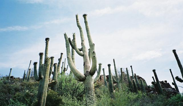 Some Saguaro cacti on a hill